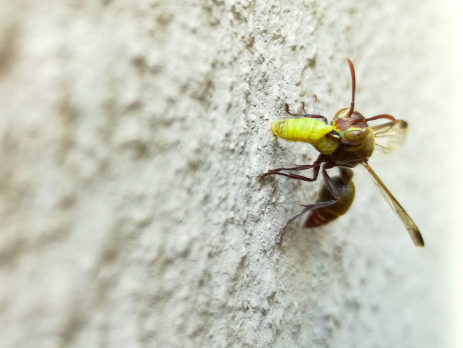 The Hunter in the Garden ... Insect Nature Wasp Hunting Outdoors Natural Predator Gardening Animal Themes Insects  Close-up Wasps Predator Predators Predatory Predator And Prey Alberton Johannesburg South Africa