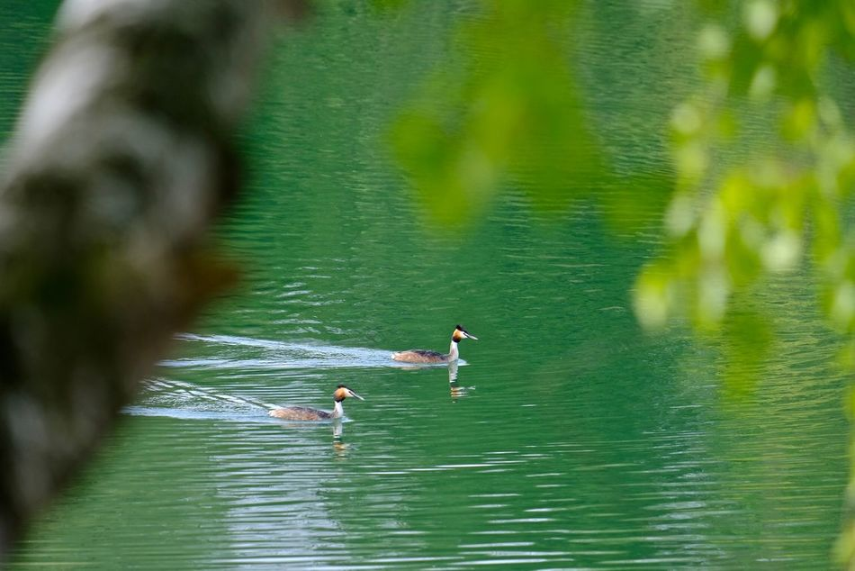 Beauty In Nature Green Color Haubentaucher (Podiceps Cristatus) Lake Nature Outdoors Reflection Water Waterfront