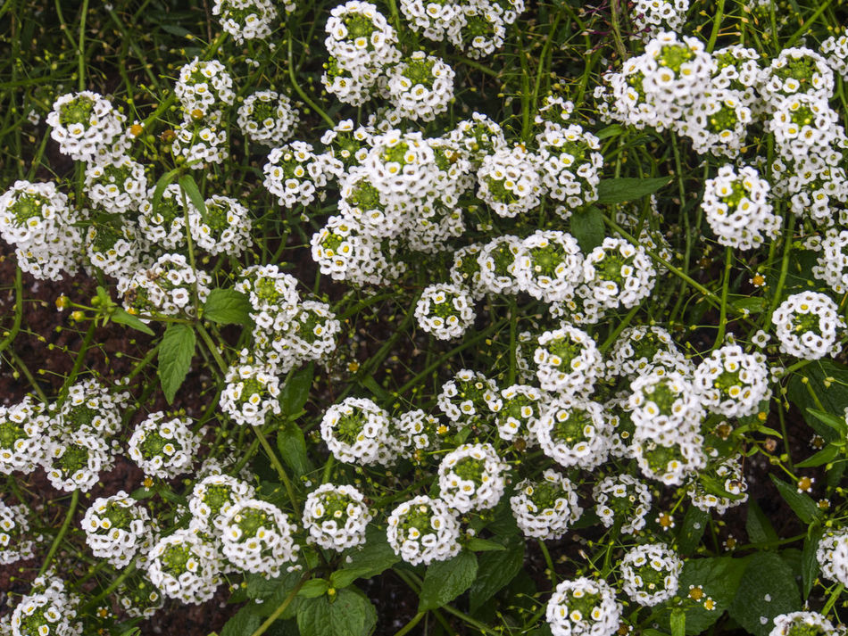 Lobularia maritima, common name sweet alyssum or sweet alison Alison Alyssum Beauty In Nature Blooming Blossom Botany Bunch Of Flowers Day Flower Flower Head Fragility Freshness Growth In Bloom Lobularia Maritima Nature Park - Man Made Space Petal Pink Color Plant Springtime Sweet White White Color