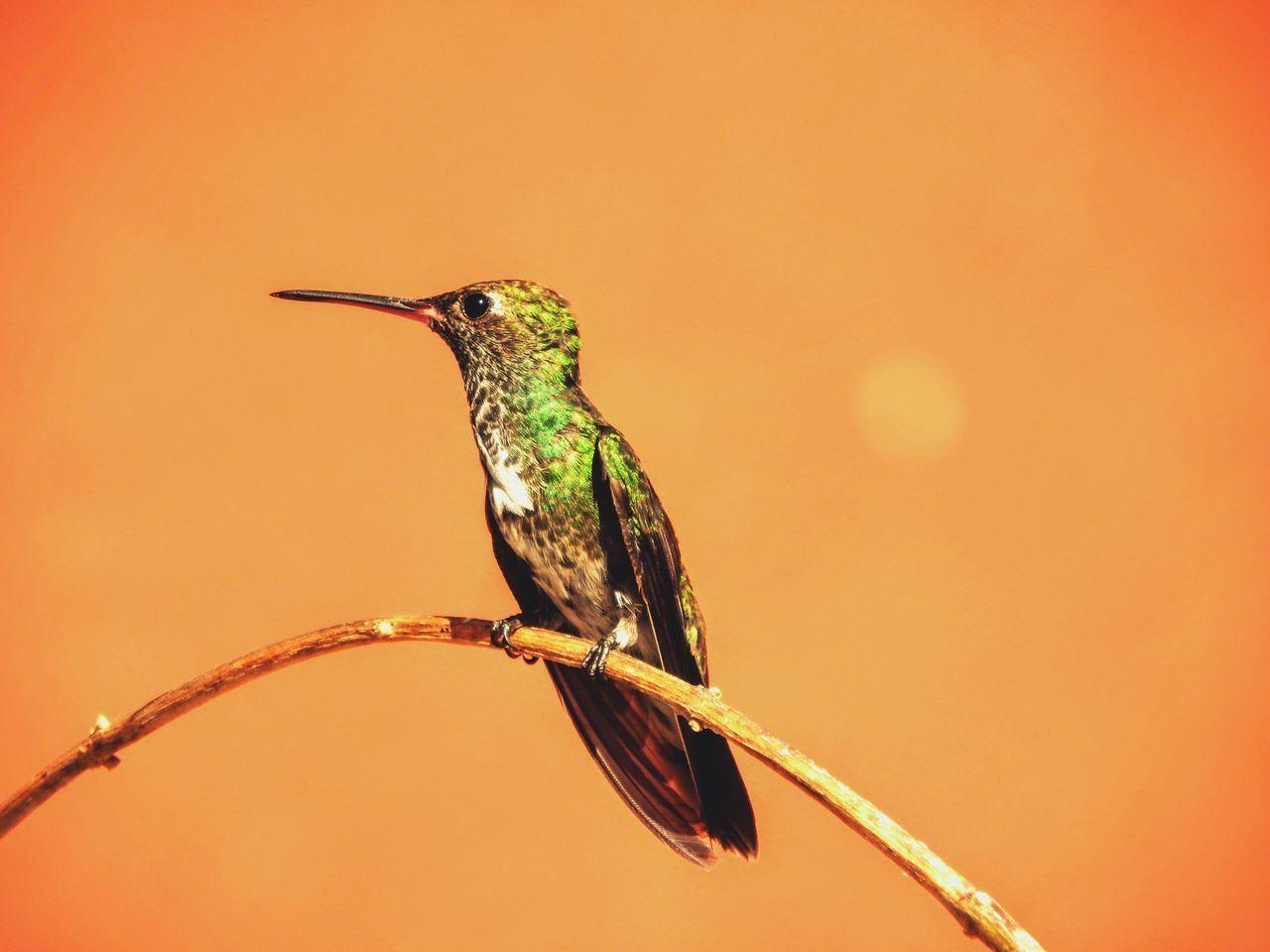 Beautiful stock photos of kolibri, Animal Themes, Animal Wildlife, Animals In The Wild, Beak
