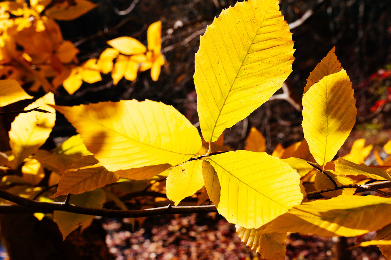 leaf, yellow, outdoors, day, focus on foreground, autumn, nature, close-up, change, fragility, growth, no people, beauty in nature, freshness, maple
