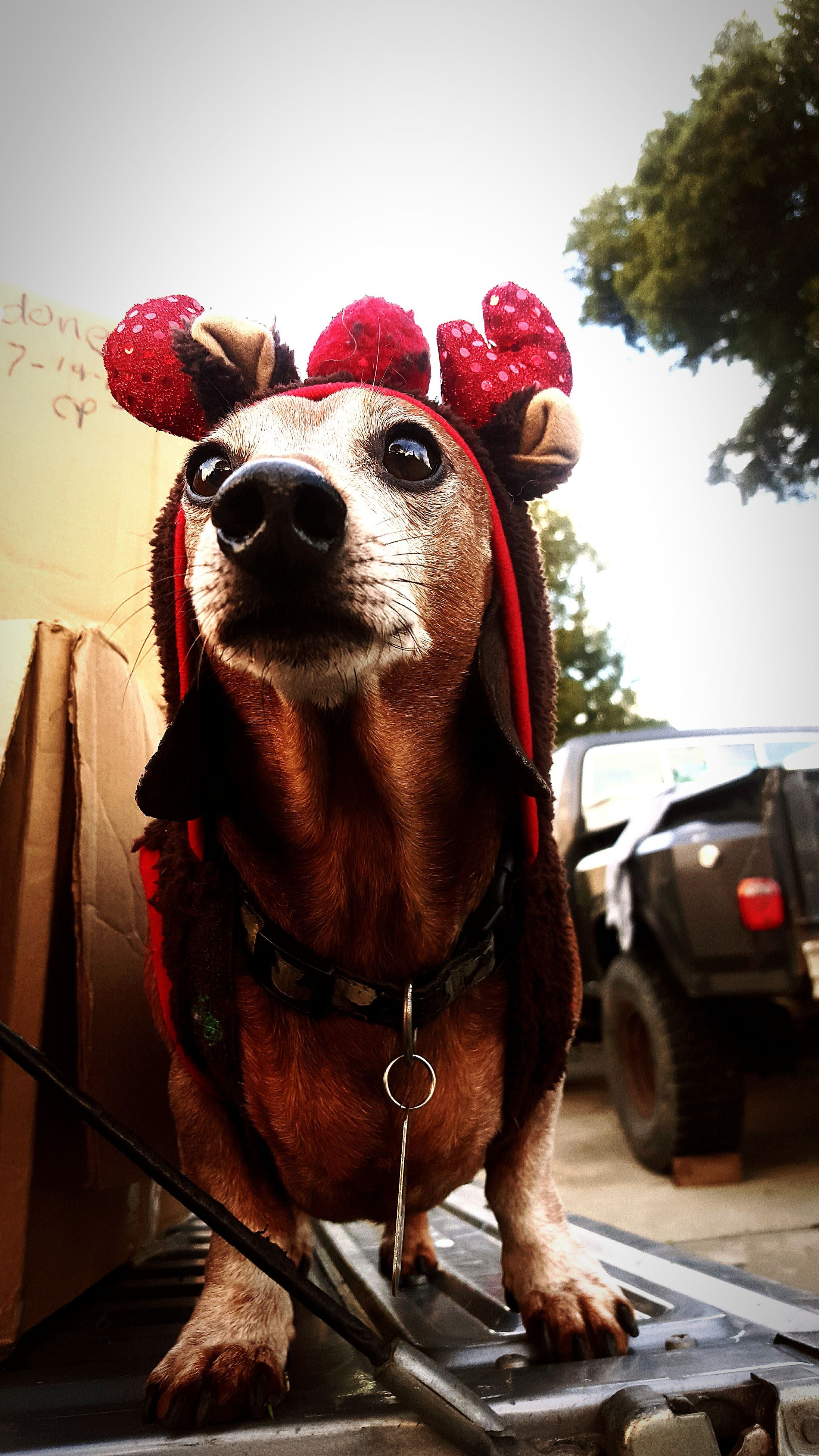 domestic animals, dog, animal themes, red, one animal, portrait, close-up, mammal, animal head, looking at camera, front view, pets, car, day, livestock, humor, no people, outdoors, transportation, animal representation