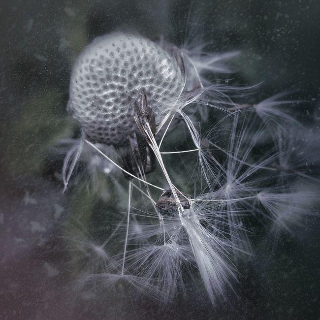 Dmuchawiec Dandelion Close-up Macro Macro Photography Nature Edit Photo Edit_masters