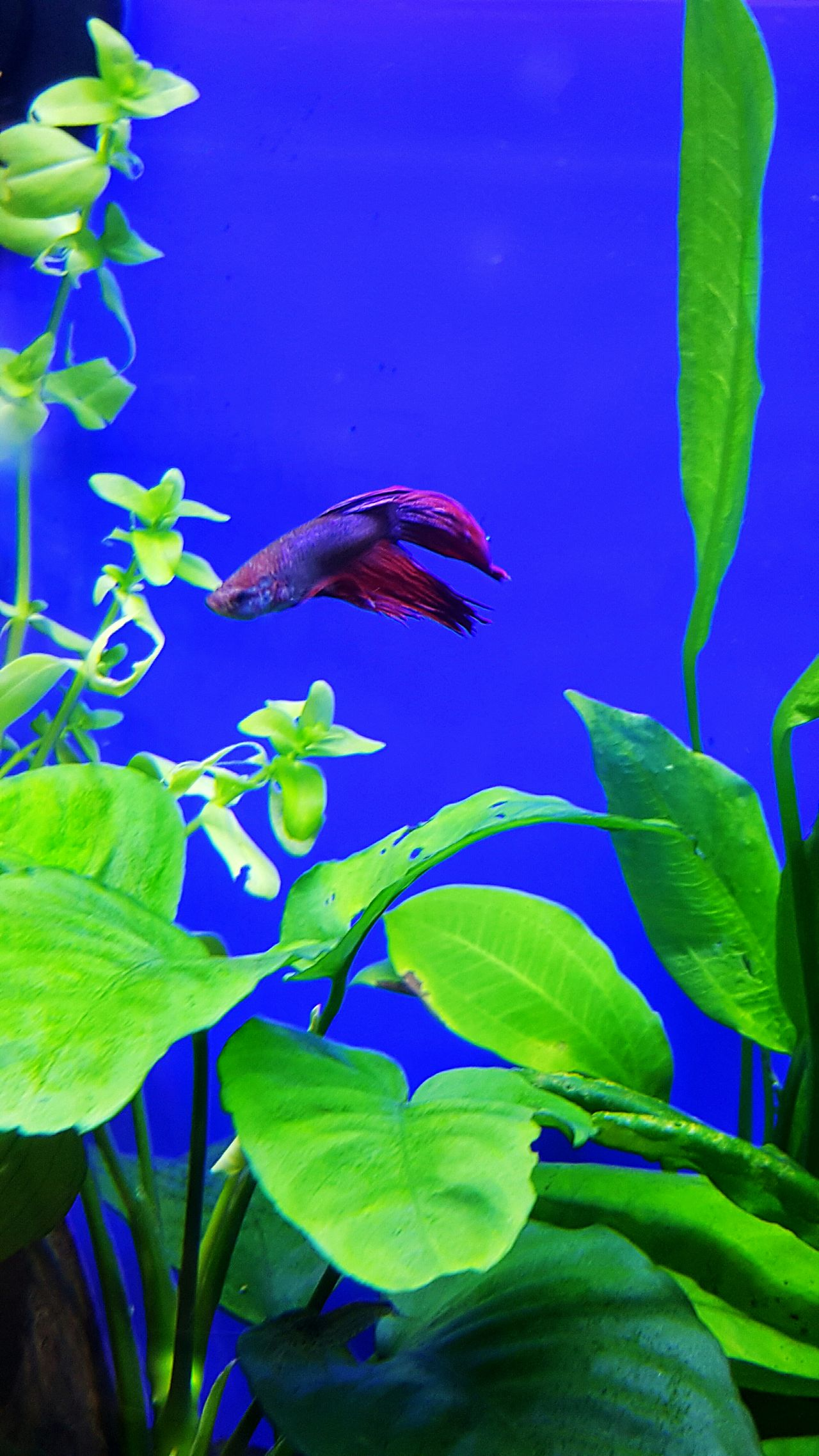 Fish Red Fish Fancy Fish Underwater Photography Pet Green Plants Living Blue Background Beauty In Nature Beautiful Nature Beautiful Fish Tank For Sale EyeEm Best Shots EyeEm Nature Lover Eyem Best Shots Eye4photography  EyeEmBestPics EyeEm Best Shots - Nature Eyemphotography