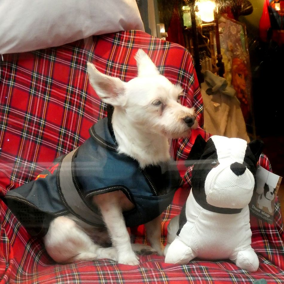 Pets Domestic Animals Terriermix Dog Chair Tartan Blanket Real Dog Stuffed Toy Toy Dog Friendsforever Cute Lighthearted Dog Coat Cozy No People Animal Themes