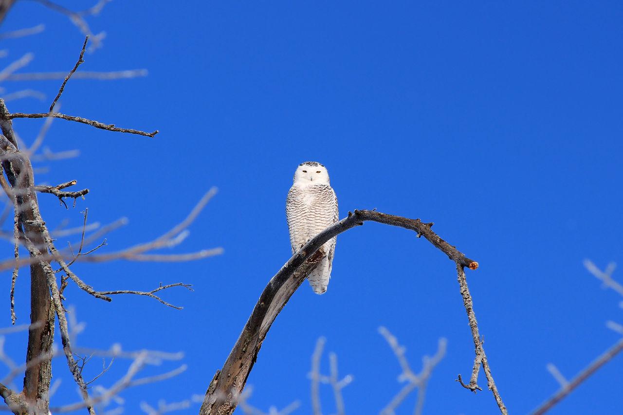 Animal Animals In The Wild Bird Bird Of Prey Blue Sky Bubo Scandiacus Clear Sky No People One Animal Owl Snowy Owl Wildlife Winter Zoology