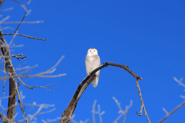 Animal Animals In The Wild Bird Bird Of Prey Blue Sky Bubo Scandiacus Clear Sky No People One Animal Owl Snowy Owl Wildlife Winter Zoology