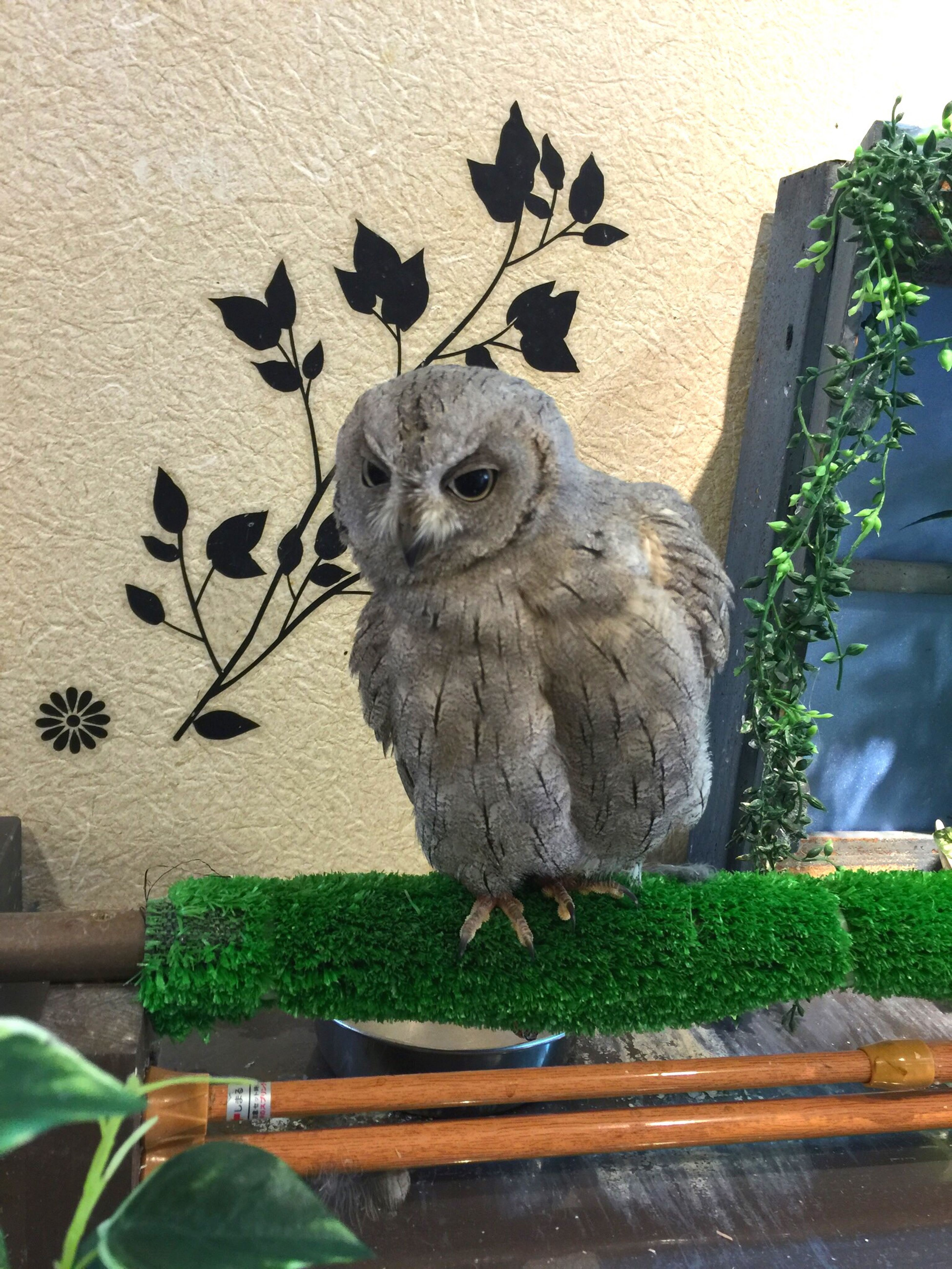 お色気フクロウ Owl Owl Cafe Cute Animal Animals That Look Tho Sexygirl Sexyboy Sexyface Lol :) フクロウ ふくろうカフェ ふくろうカフェ 動物 可愛い 奈良 東大寺付近 お色気 セクシー な顔 旅行