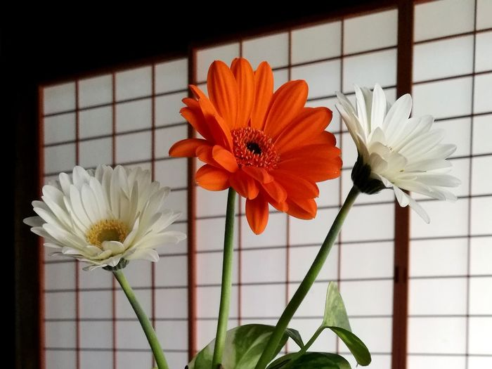 Gerbera Flower Flower Head Beauty In Nature Plant Close-up Day Freshness Indoors  No People Shouji Japan Japanese Traditional House EyeEm Ready