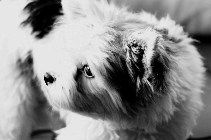 DogLook Yorkie Blackandwhite Photography EyeEm Selects Dog Pets Domestic Animals Animal Themes One Animal Close-up Mammal No People Day Indoors  Portrait EyeEmNewHere