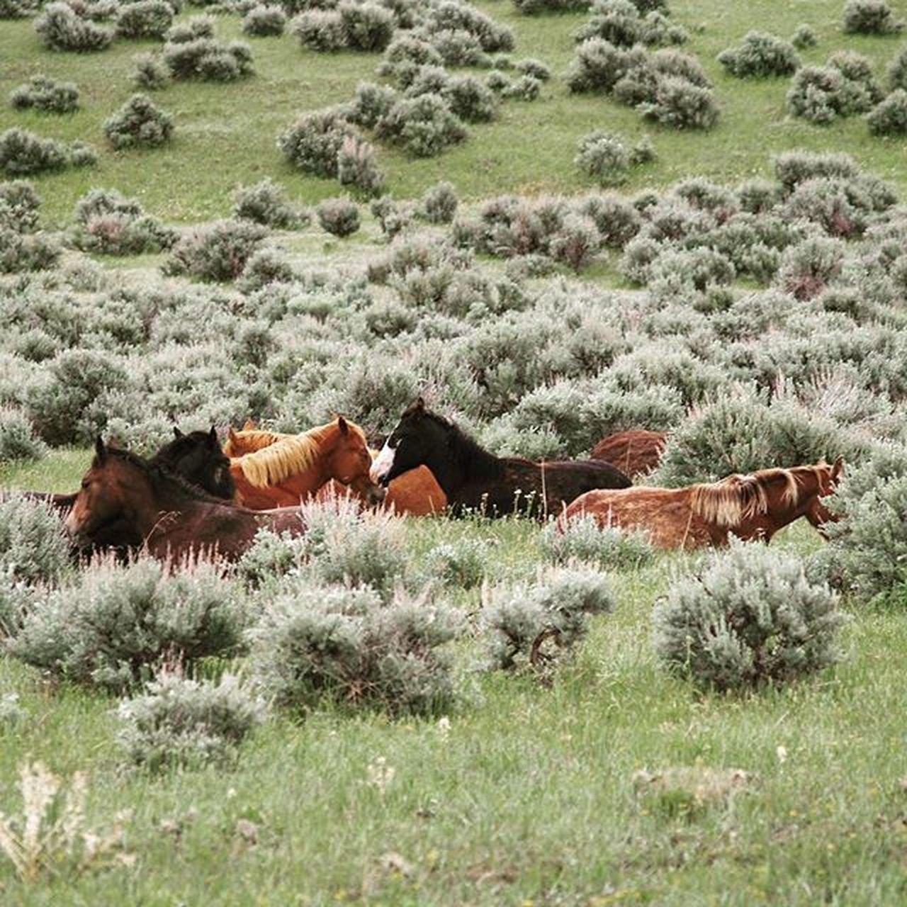 An old picture. Wild horses at Little Big Horn. Horses Littlebighorn Wyoming Roadtrip Wildhorses