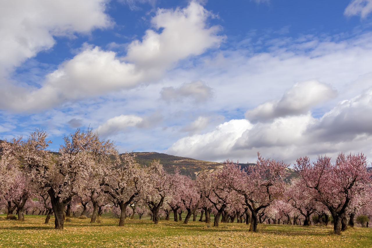 Fruit trees in bloom, with the arrival of spring. Agriculture Almond Tree Beauty In Nature Blossom Cloud - Sky Day Landscape Nature No People Outdoors Scenics Sky Tree