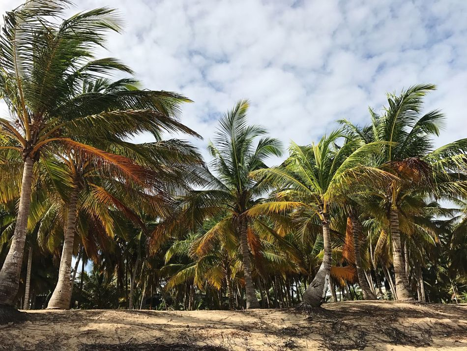 Palm trees Palm Tree Palm Trees Beach Oceanic Sand Dominican Republic Tranquil Scene Tranquility Scenics Beauty In Nature Summertime Summer