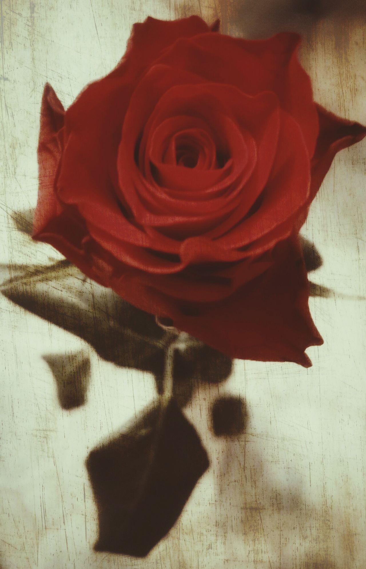 Rose🌹 Rose - Flower Flower Red Nature Roses🌹 Rose♥ Roses Flowers  Roseporn