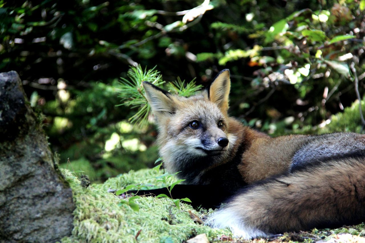 I was hiking at Parc national du Fjord-du-Saguenay and I saw this fox resting!!! It looks like he/she saw something interesting. Fox Animals Wildlife Forest Hiking Nature Quebec Mammal EyeEm Nature Lover Cute
