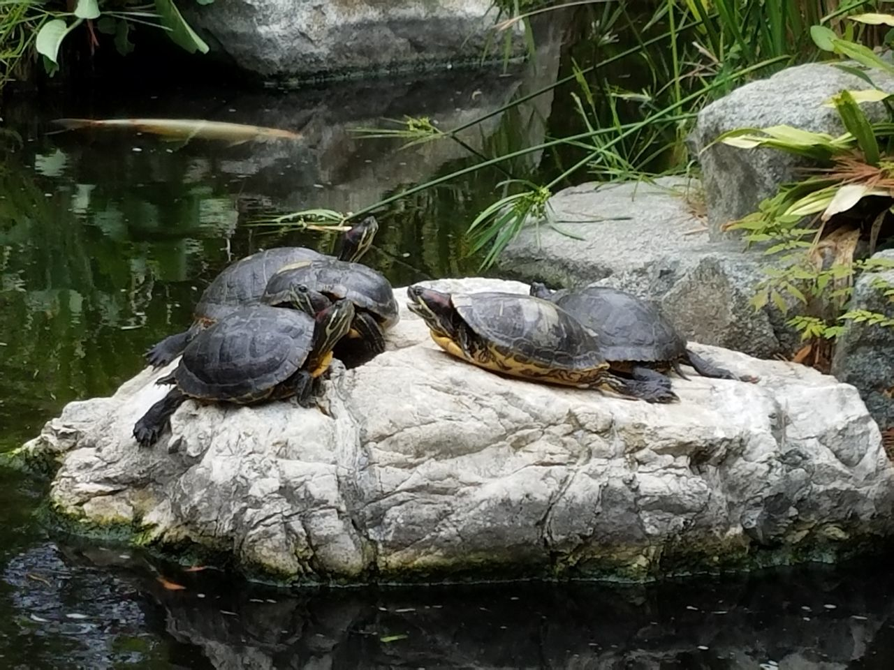 Natural Light No Edit Tortoise Turtles Animal Themes Fine Art Photgraphy Check This Out Light And Shadow Relaxation Enjoying The Moment High Angle View Simplicity Still Life Photography Turtles In A Pond Rock Turtles On A Rock Buddies Pals Together Hanging Out