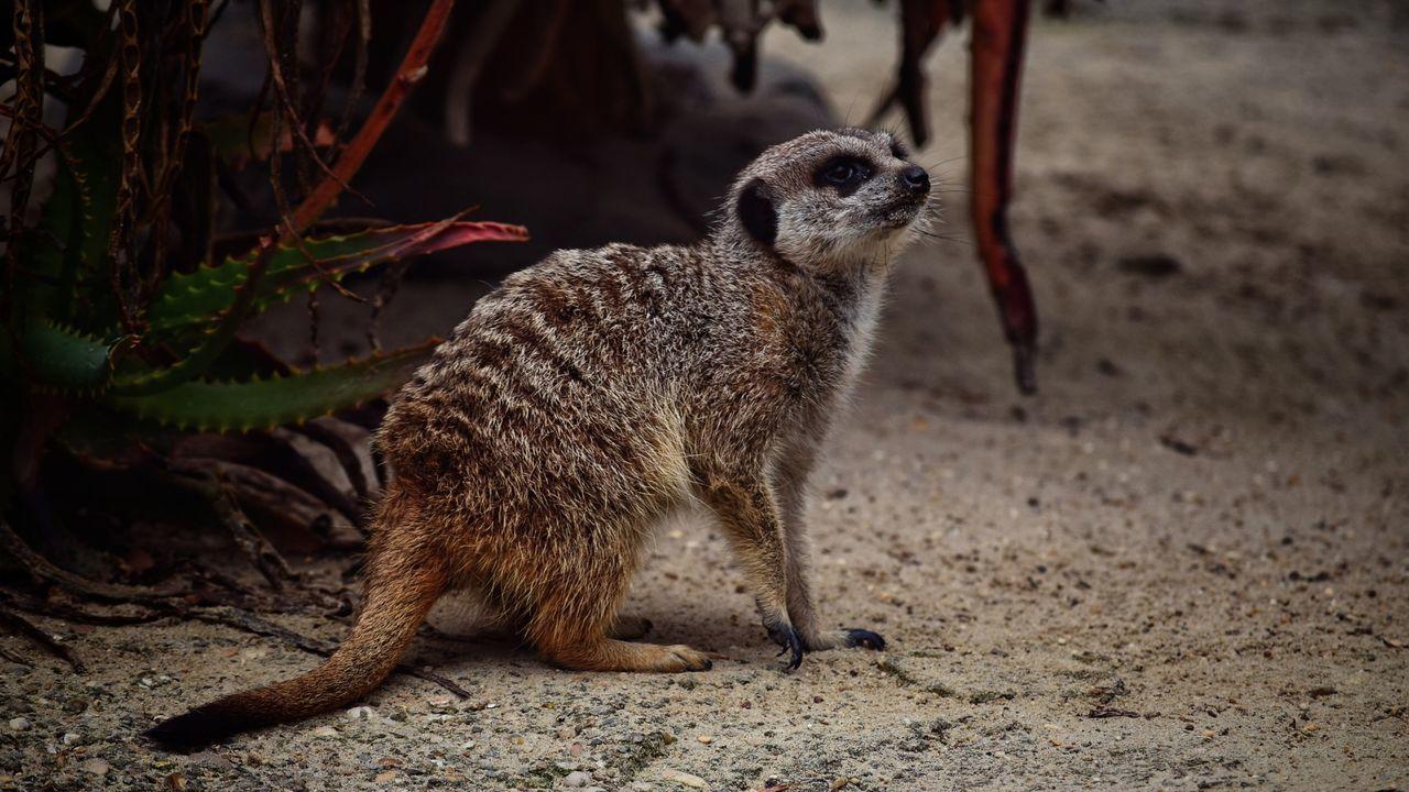 Meerkat, Cute Animals, Furry, Animal Close Up, Yellow, Zoo, Zoo Pics, Meerkat Pics Meerkat Italy 🇮🇹 Rome Bio Parque...