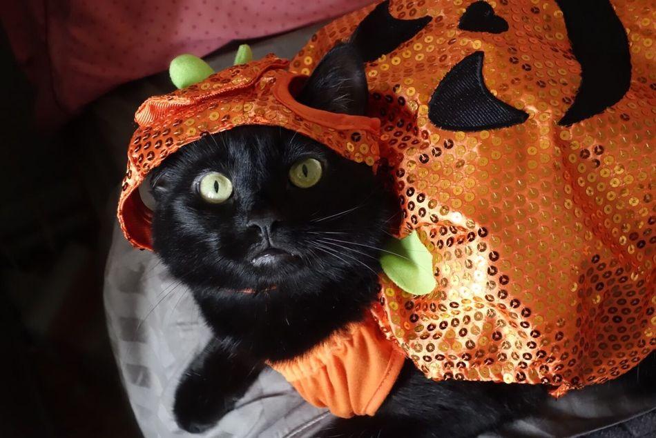 Beautiful stock photos of halloween, Black, Cat, Close Up, Costume