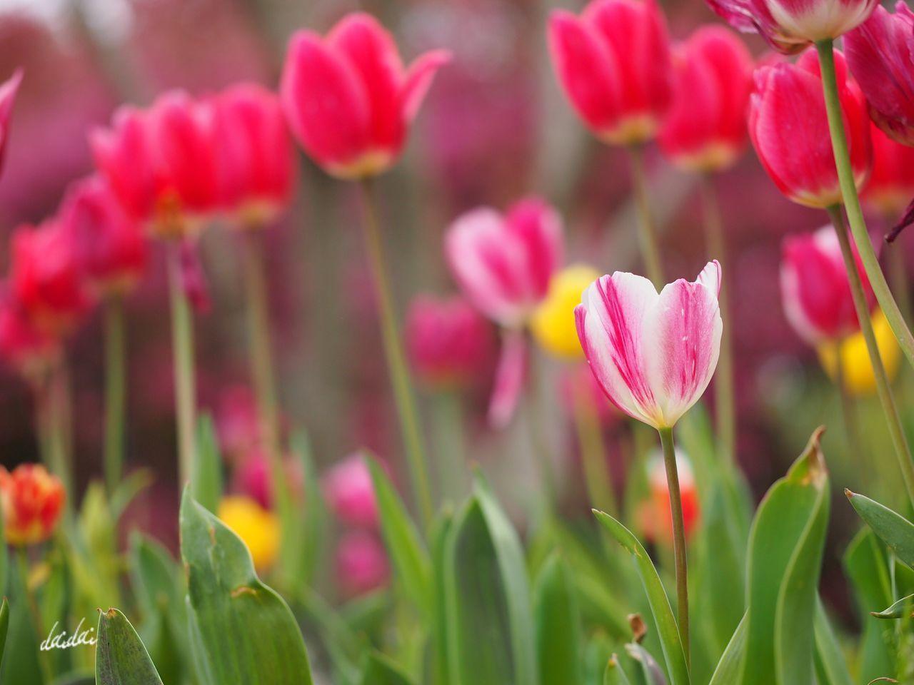 あたしもいつか先輩たちのように華やかに E-PL3 フルサイズの一眼が欲しくなってきたよ。。。 Fukuokadeeps 海の中道海浜公園 花 Flower Bokeh Noedit チューリップ Tulip