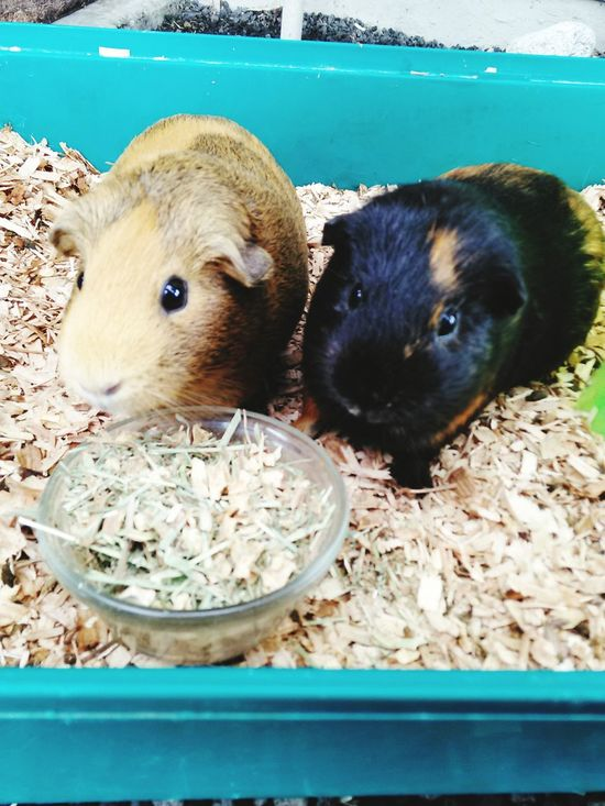 My babies 🐹❤🐹 Guineapiglove Guineapig Guineapigstagram Cute Pets Petstagram Pet Photography  Pet Love Check This Out My Guinea Pig MyBABiES