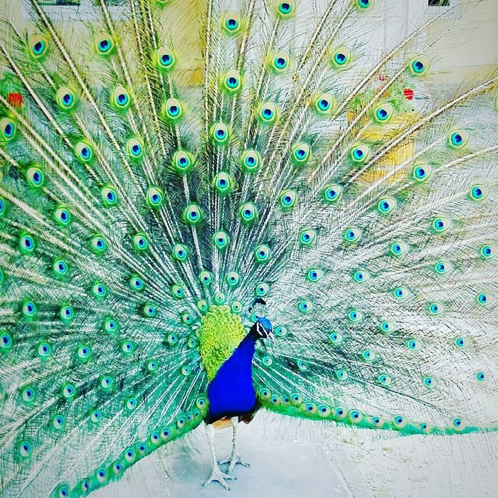 Peacock Close-up Multi Colored Blue Green Color