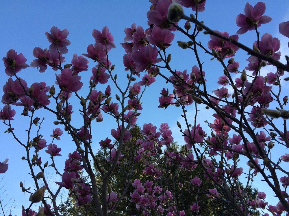 magnolia tree Back Lit Beauty In Nature Blooming Branch Close-up Flower Flower Head Fragility Freshness Growth Low Angle View Magnolia Blossoms Magnolia Flower Magnolia Tree Nature No Filter, No Edit, Just Photography No People Outdoors Petal Pink Color Saucer Magnolia Sky Tree Tulip Magnolia Tulips🌷