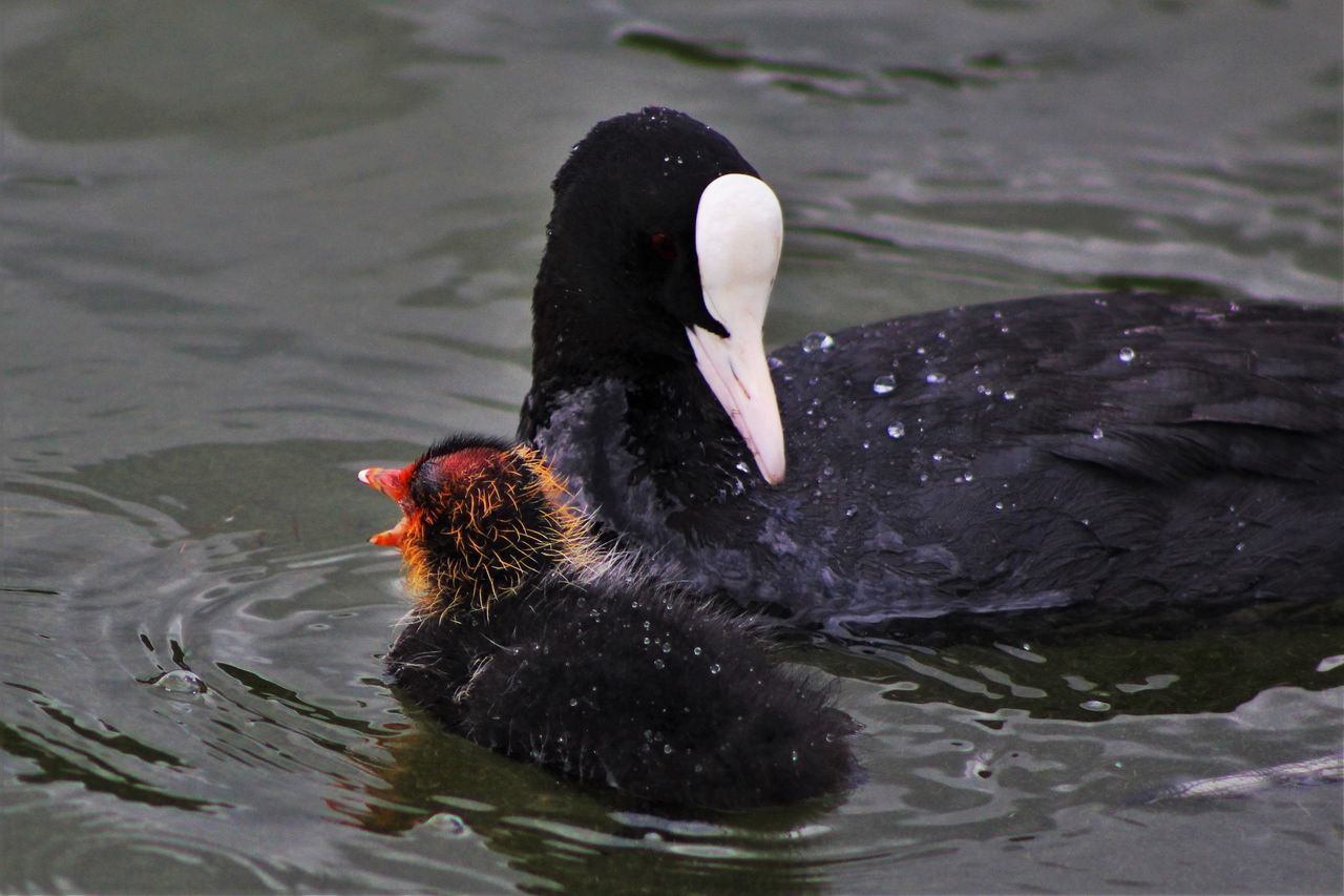 Animal Animal Themes Beauty In Nature Bird Black Color Close-up Coot Coot With Cootie Day Focus On Foreground Lake Nature No People Outdoors Rippled Swimming Tranquility Water Water Bird Wildlife