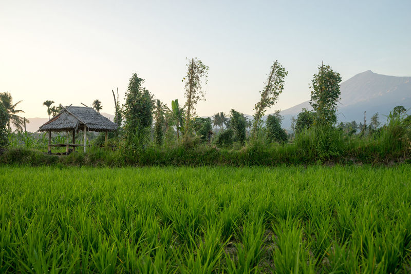 Paddy fields with Mount Rinjani as backgroud at Lombok, Indonesia. Cereal Plant Coconut Palm Tree Holiday Hut Lombok-Indonesia Paddy Field Peace And Quiet Rinjani National Park Rural Scene Sunrise Traditional Tranquil Scene Tropical Climate