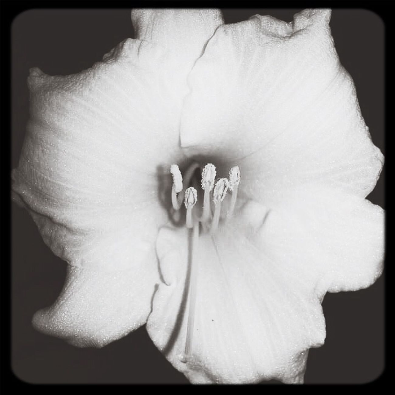 Flower Astacia Nature_collection Black & White Old