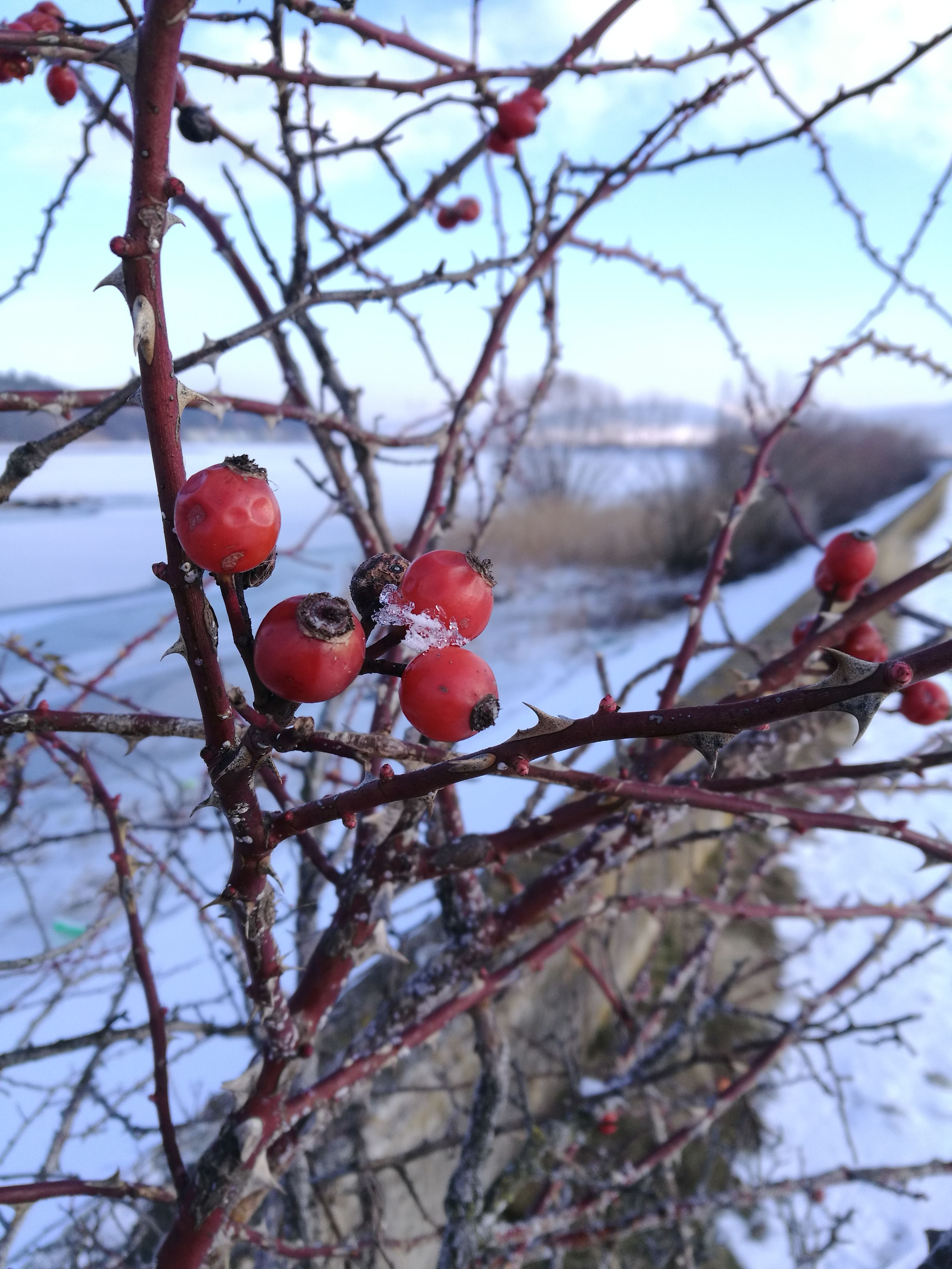 fruit, red, tree, nature, food and drink, winter, cold temperature, growth, rose hip, branch, no people, day, outdoors, close-up, snow, bare tree, food, freshness, beauty in nature, sky