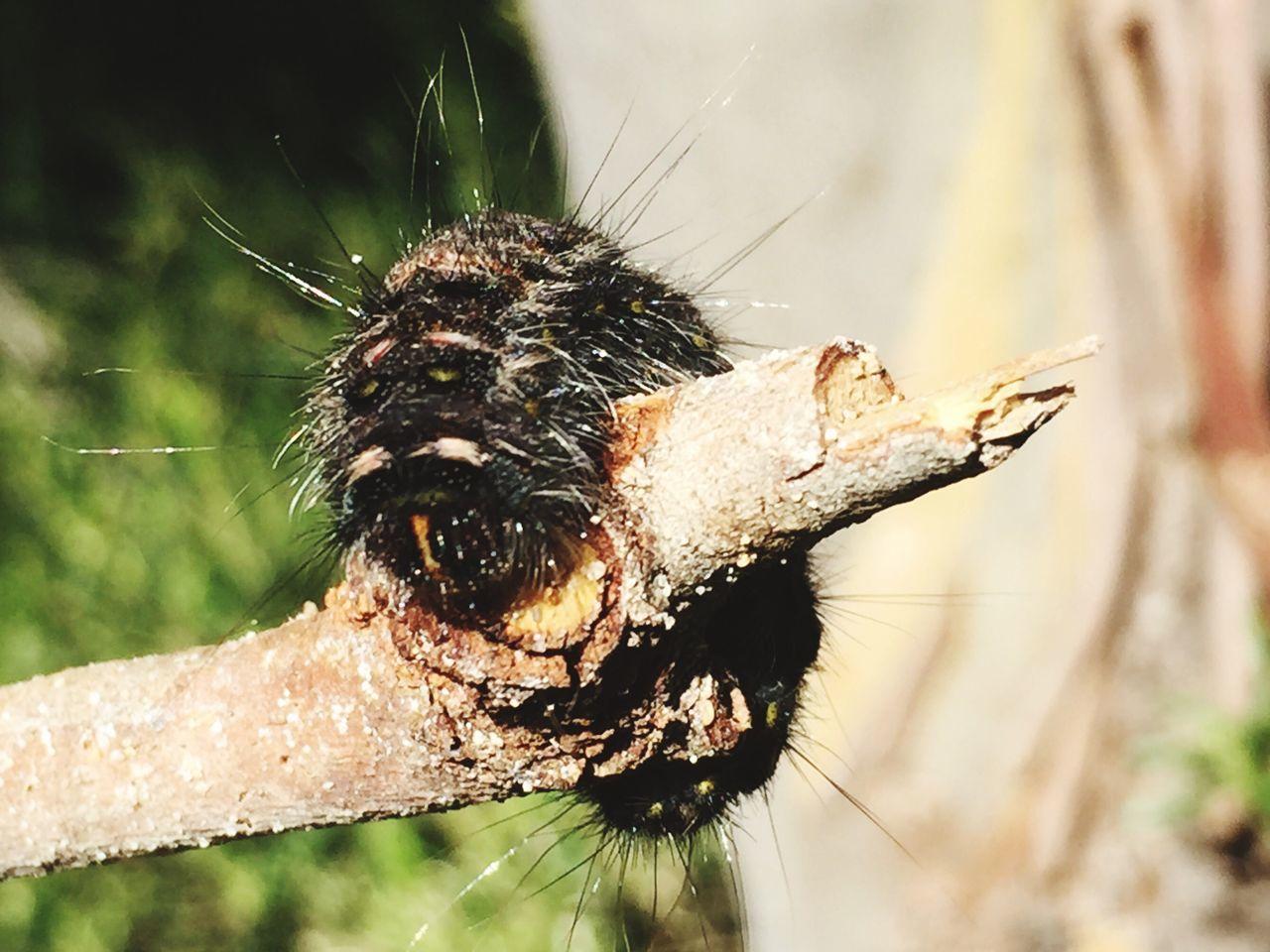 Catarpillar Curling Hairy  Hairy Caterpillar Beautiful Nature