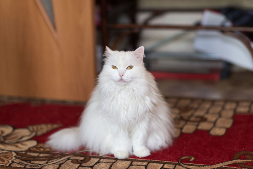 Animal Themes Cat Day Domestic Animals Domestic Cat Feline Indoors  Mammal No People One Animal Persian Cat  Pets Portrait Sitting