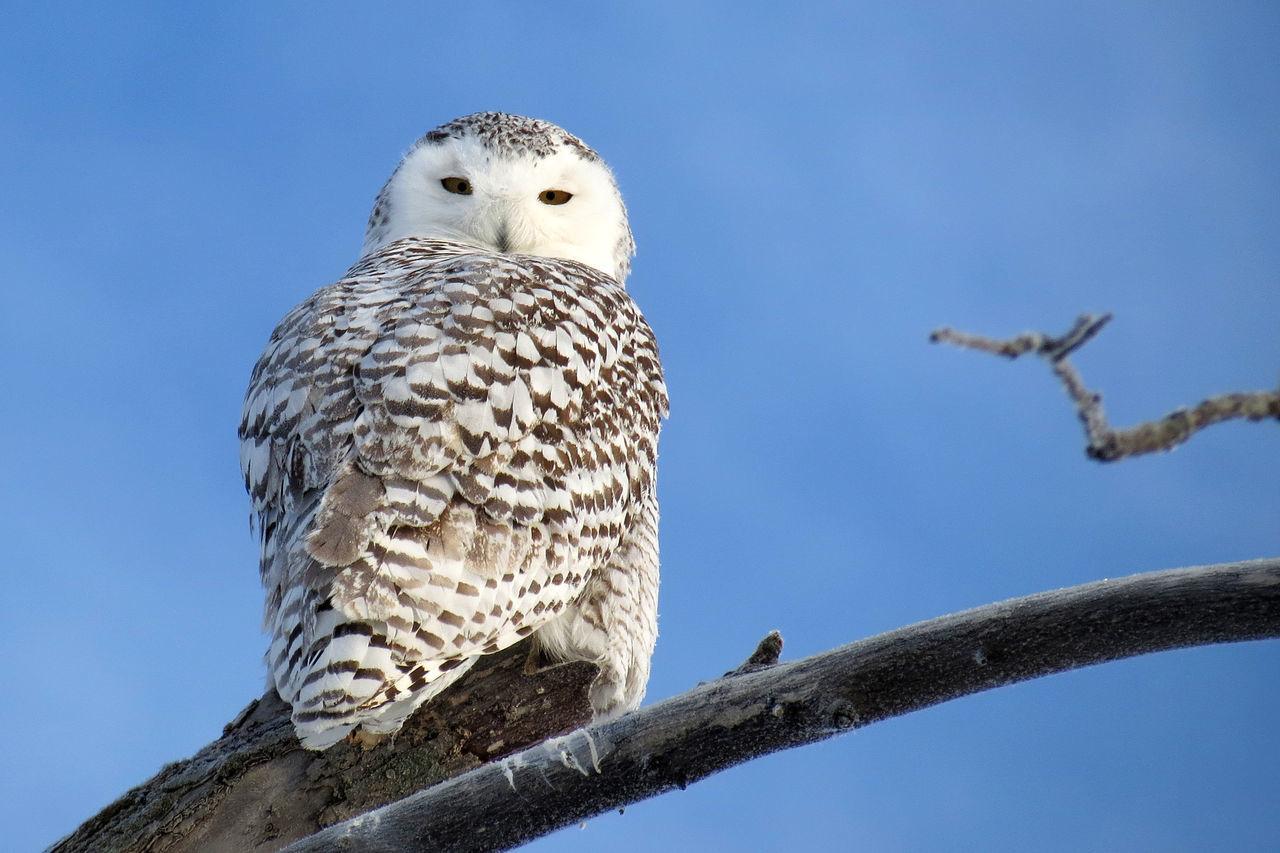Animals In The Wild Bird Birds Bubo Scandiacus Canada Clear Sky One Animal Owl Perching Snowy Owl Wildlife Winter