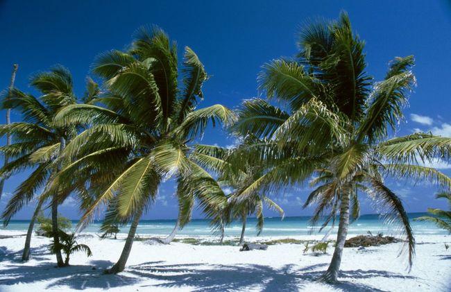 Mexico Palm Trees Palms Sian Khan Biosphere Yucatan Mexico Travelingtheworld  Travelphotography Travel Photography Traveling Photography Travelling Photography Travel Palm Tree Caribbean Sea Beachphotography Beach Photography Travelling