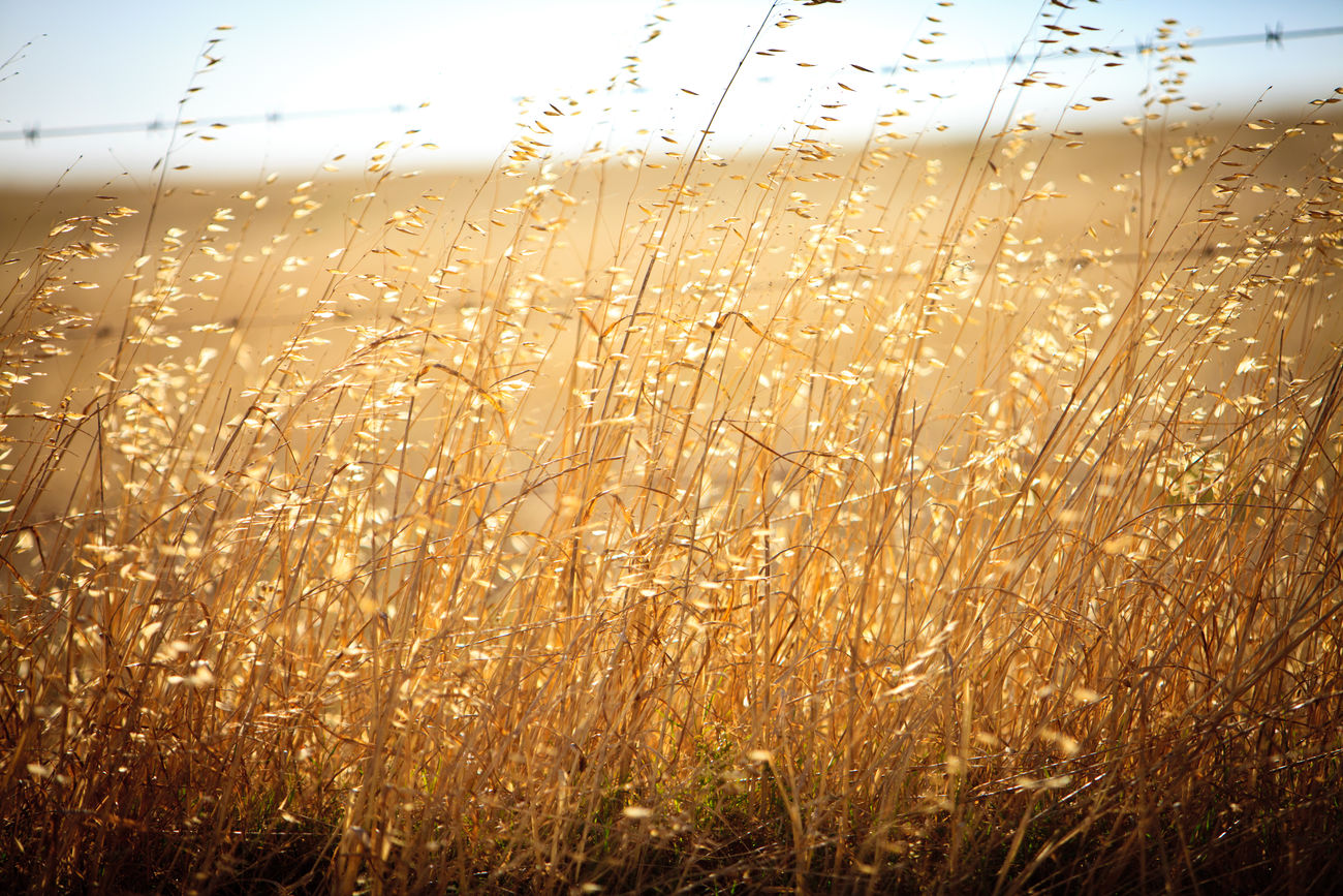 Grass with seeds backlit by sun Agriculture Backgrounds Backlit Beauty In Nature Cereal Plant Close-up Day Field Freshness Grass Growth Nature No People Outdoors Plant Rural Scene Scenics Sky Sunset Tranquility