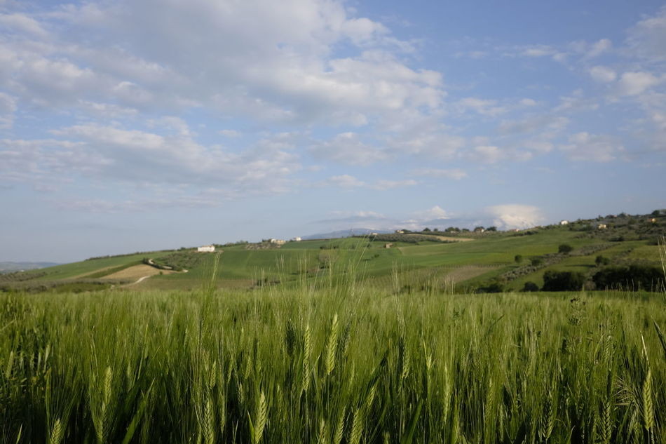 Wheat campaign Agriculture Beauty In Nature Cereal Plant Day Field Grass Growth Landscape Nature No People Outdoors Rural Scene Scenics Sky Tranquil Scene Tranquility Wheat