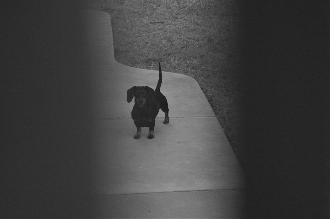 Through the Gate Wood Dog Blackandwhite Morning Walk No Sleep At All Summer Vacation