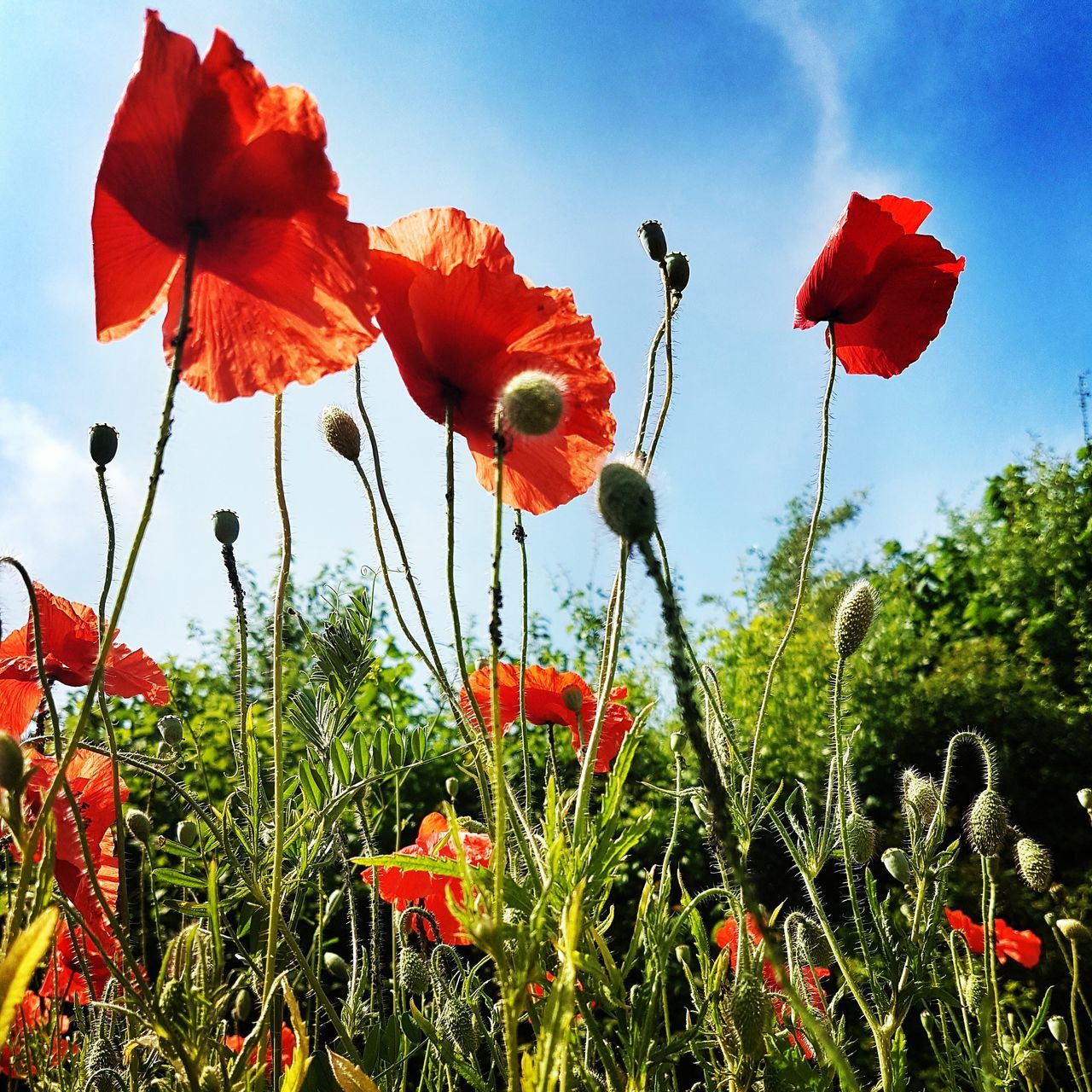 growth, flower, red, poppy, beauty in nature, nature, plant, field, fragility, petal, freshness, day, outdoors, flower head, no people, sky, blooming, low angle view, grass, close-up, tree