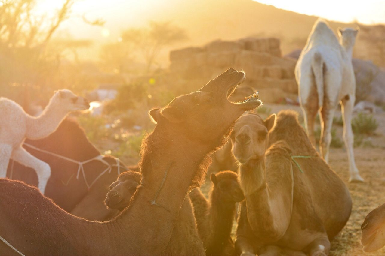 Beautiful stock photos of camel, Animals Hunting, Camel, Day, Desert