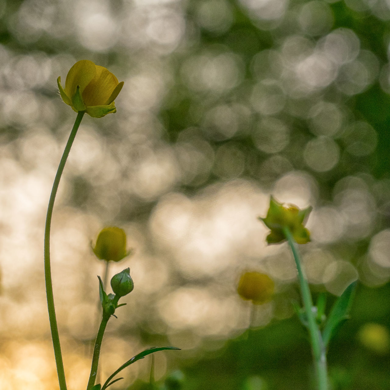 Beauty In Nature Blooming Crowfoots Day Flower Flower Head Focus On Foreground Fragility Green Color Growth Nature No People Outdoors Plant Springtime Yellow