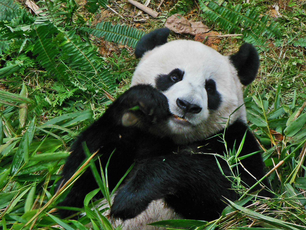 Animal Themes Animal Wildlife Animals In The Wild Bamboo Giant Panda Hungry Indulge Mammal One Animal Panda - Animal Photogenic Panda Portrait Singapore Zoological Garden