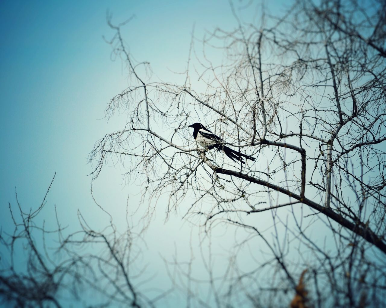 Bird Animals In The Wild Bare Tree Animal Wildlife Branch Animal Themes Perching Tree One Animal Nature Day Outdoors No People Magpie Magpie Bird Spring Time Spring Nature Springtime