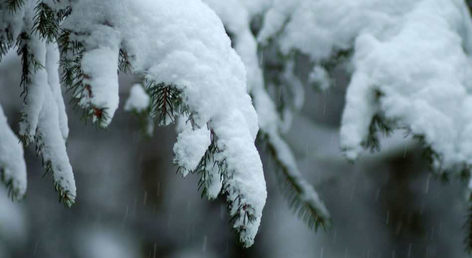 Beauty In Nature Branch Branches Cold Temperature Hi! Montagne Musyacat Nature Neige No People Outdoors Plant Sapin Season  Selective Focus Snow Stem Tree Twig Val De Morteau Winter