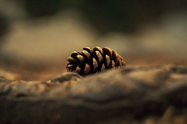 Alone Beauty In Nature Bokeh Bokehlicious Close-up Day Forest Photography Forestwalk Helios 44-3 Nature Nature Nature Photography Nature_collection Naturelovers No People Outdoors Pine Cone Postcard Selective Focus Sonyalpha Surface Level Vintage Lenses Focus Object Turkishfollowers