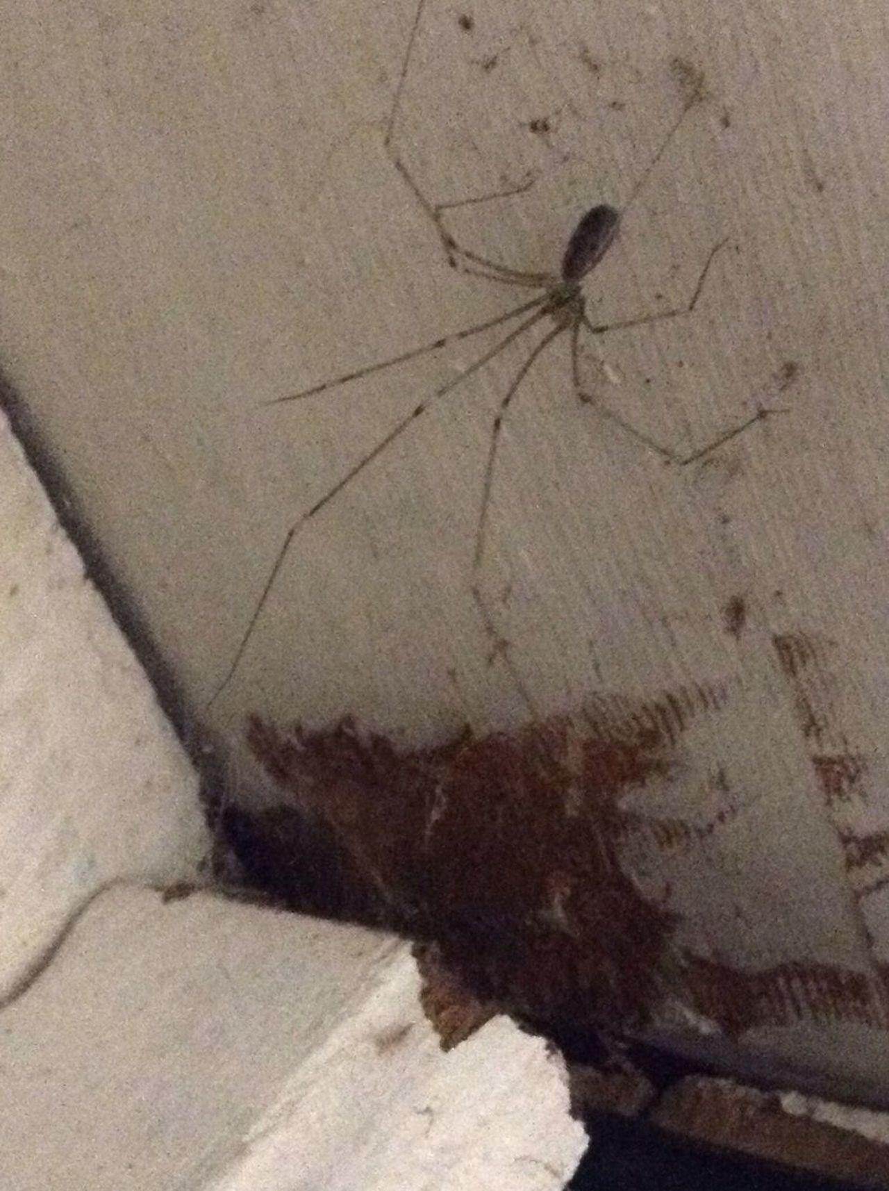 Spider Spiders Cellar Spider Creepy
