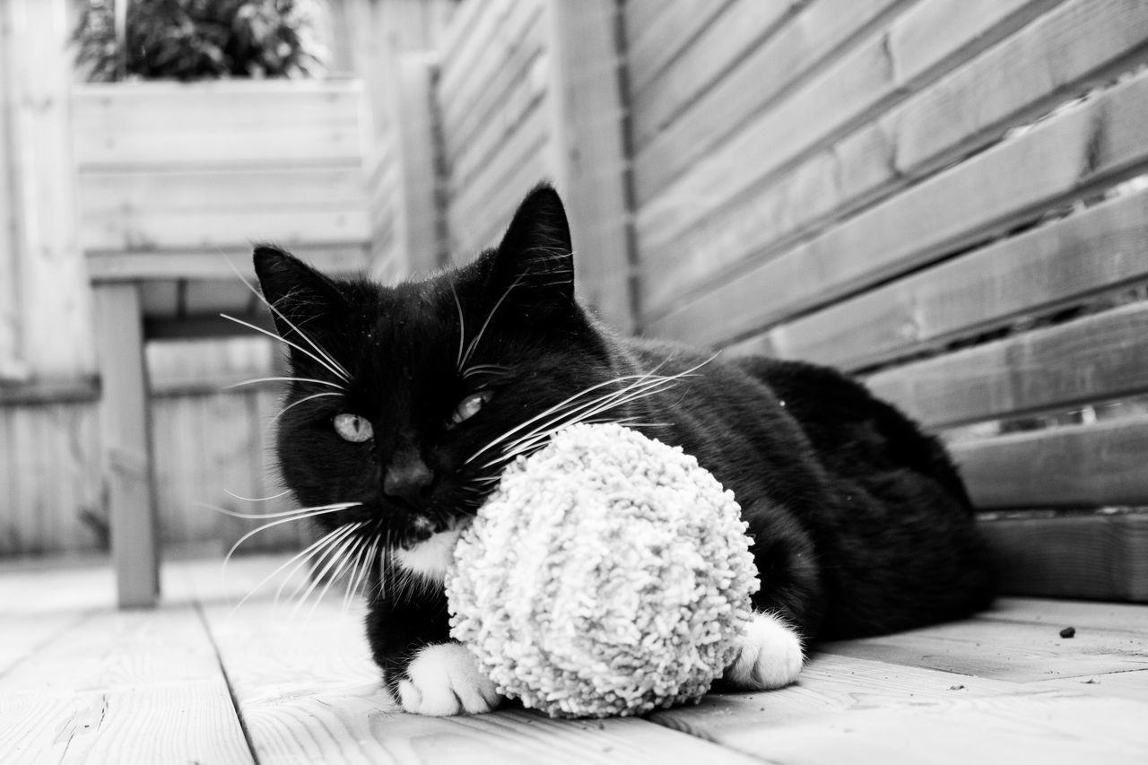 Animal Themes Blackandwhitecat BLackCat Cat Catwithtoy Pets Tuxedocats
