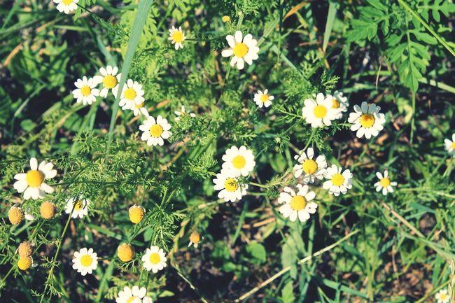 Flowers :) Beautiful ♥ Dazy