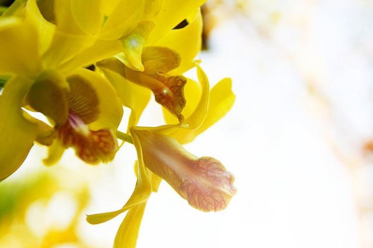 Yellow Orchid my mom. กล้วยไม้ของขุ่นแม่..ว่าแต่มีของขุ่นพ่อบ้างมั้ย? Wichudamgallery Yellow Orchid Nature Sun Sunlight Fresh Thailand Canonlife Redefine