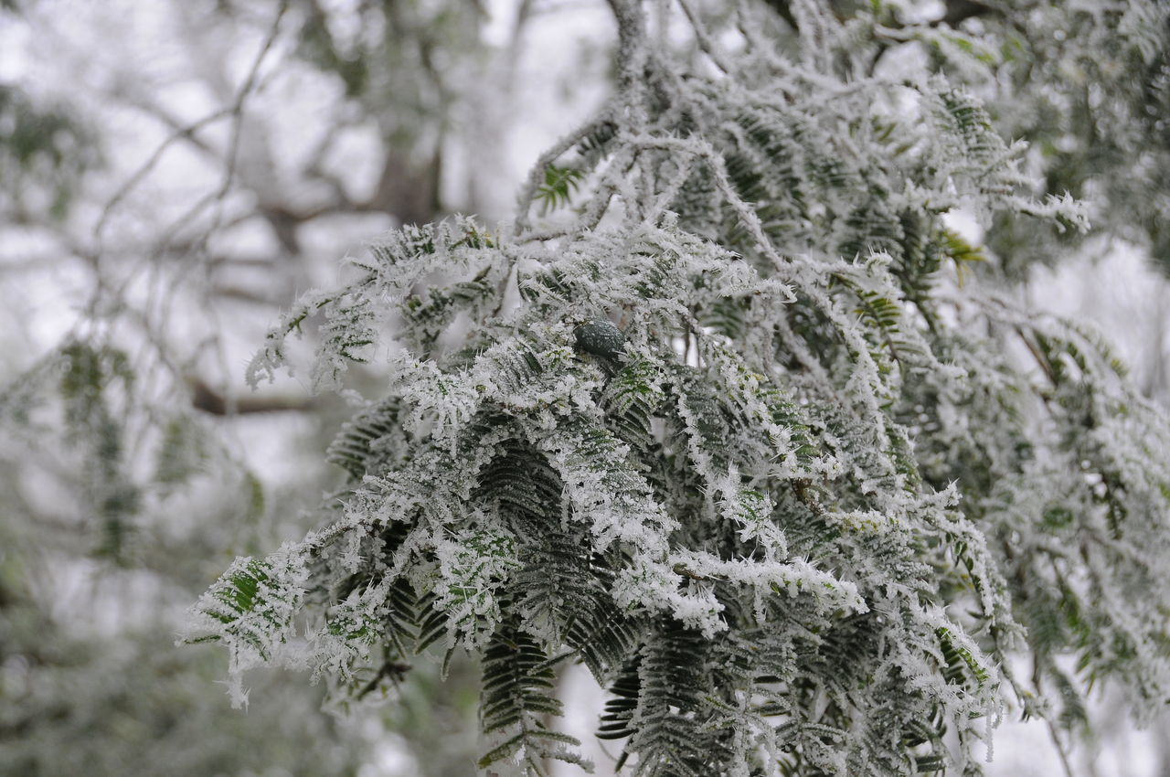 winter, cold temperature, snow, tree, weather, nature, no people, focus on foreground, frozen, day, fir tree, close-up, outdoors, branch, beauty in nature, snowflake, spruce tree