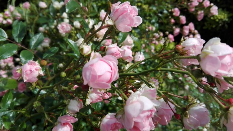 Roses Rose - Flower Rose🌹 Rose♥ Rose Garden Roses Flowers  Flowers Flower Rose Petals Rose Collection Rose Pink Roses_collection Rosegarden Pink Color Pink Flower Pink Rose Pink No Filters Or Effects Nature_collection Nature Photography Naturelovers Nature Nature_perfection